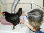 Cleaning the chicken's vent