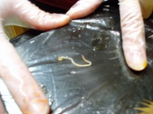 Roundworm (Ascaris)